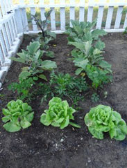 Lettuce, Parsley, Eggplant